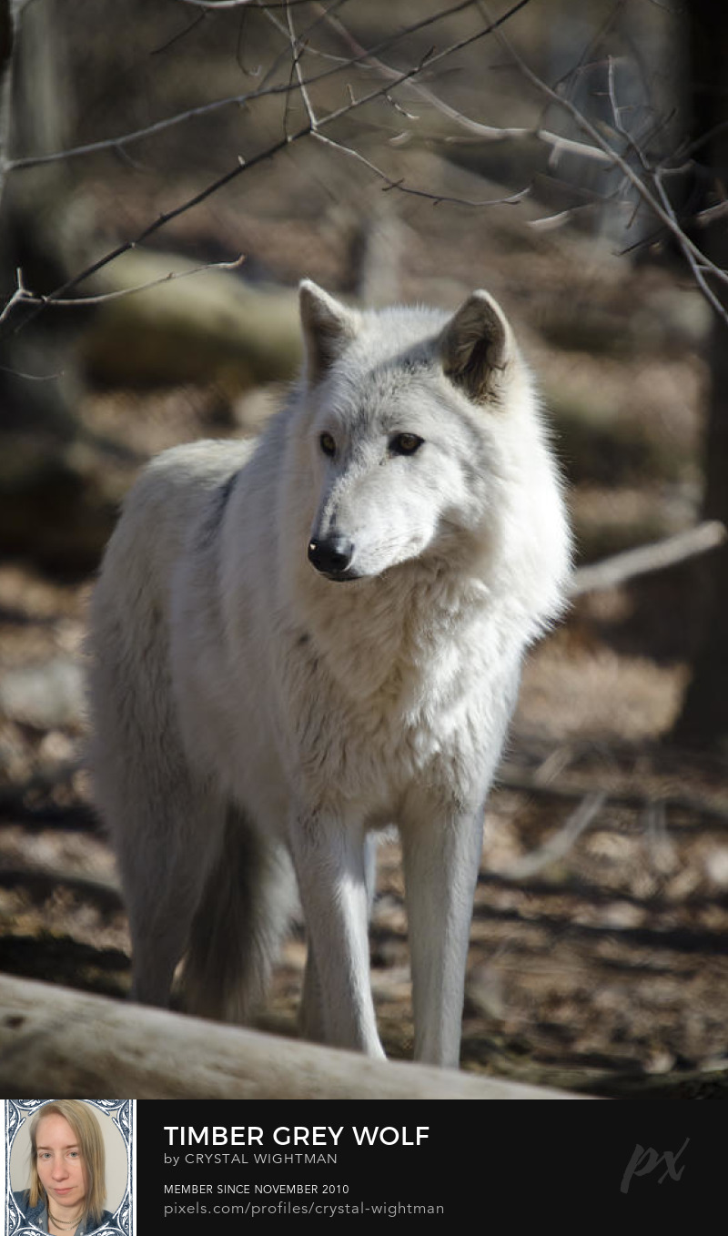 Wildlife photography of a Timber grey wolf in the wild.
