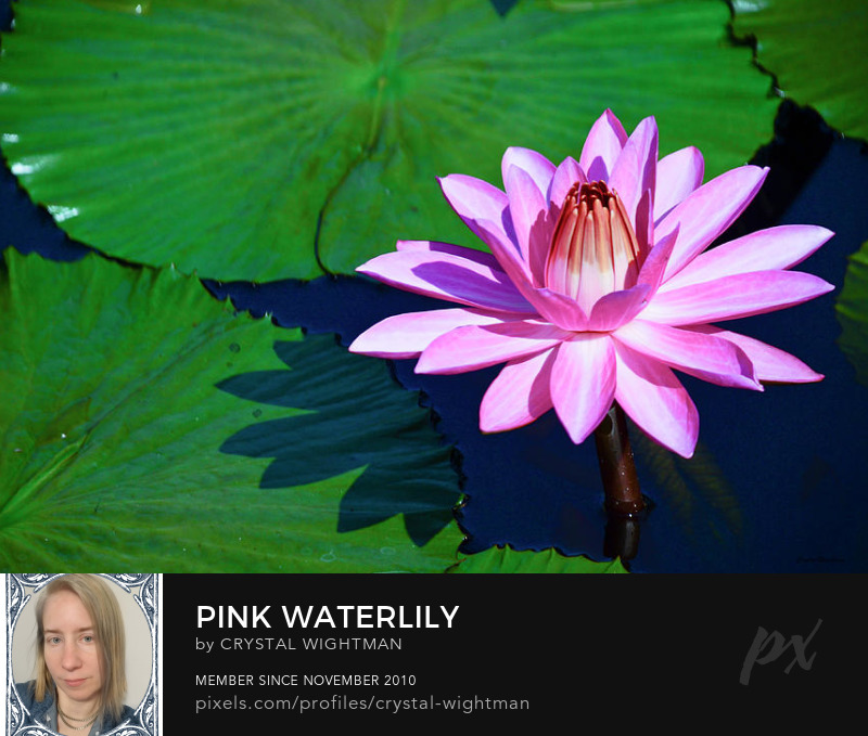A pink water lily flower by Crystal Wightman.