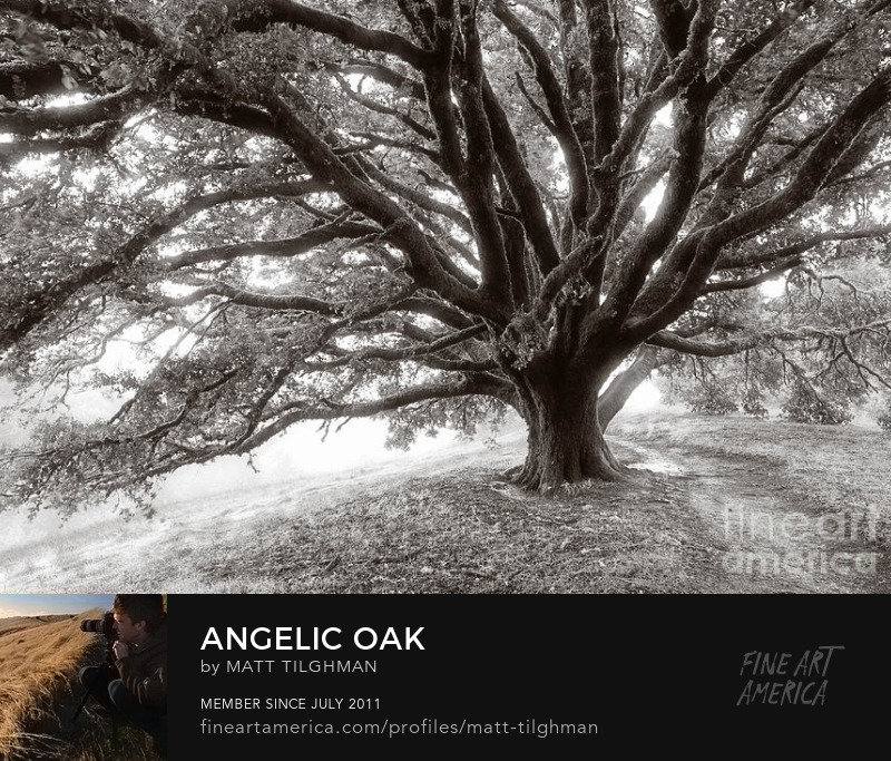Oak Tree California Chaparral Art Prints