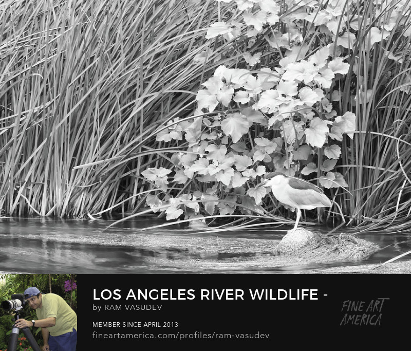 Los Angeles River Wildlife Black and White Fine Art by Ram Vasudev