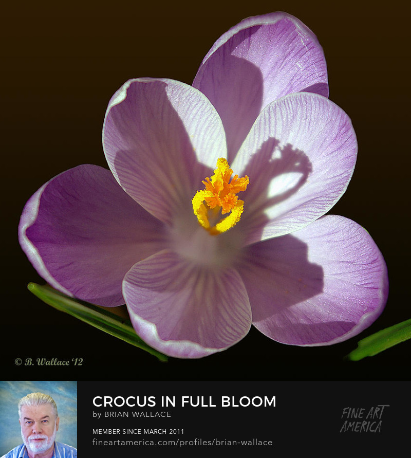 Crocus In Full Bloom by Brian Wallace