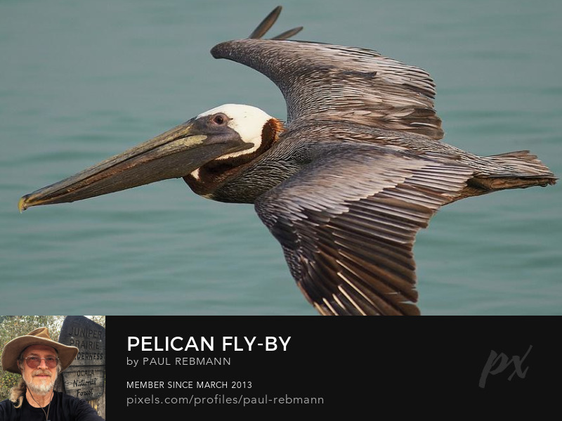 View online purchase options for Pelican Fly-by by Paul Rebmann