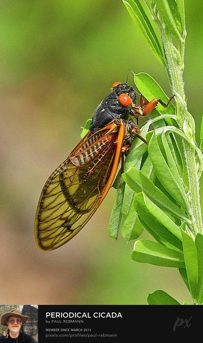 View online purchase options for Periodical Cicadas by Paul Rebmann