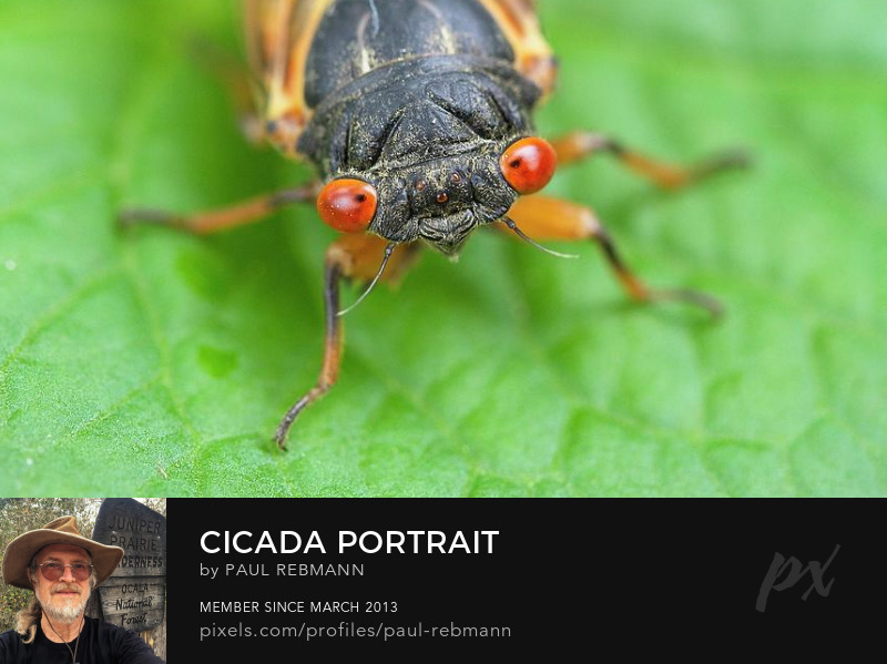 View online purchase options for Cicada Portrait by Paul Rebmann