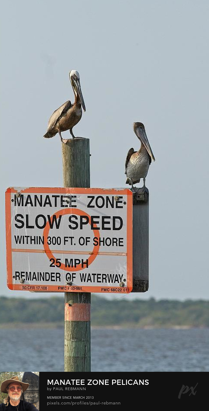 View online purchase options for Manatee Zone Pelicans by Paul Rebmann