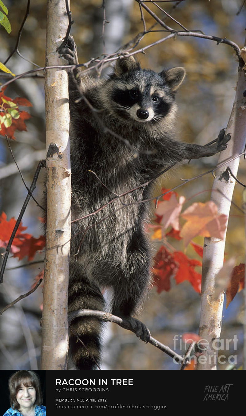 racoon posing in a colorful tree photo by chris scroggins