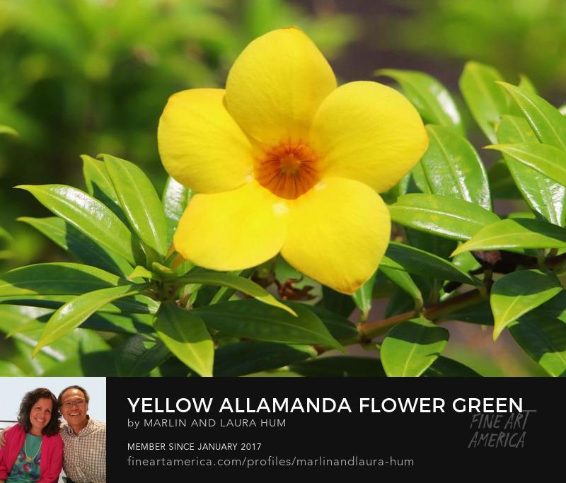 Yellow Allamanda Flower Green Leaves by Marlin and Laura Hum