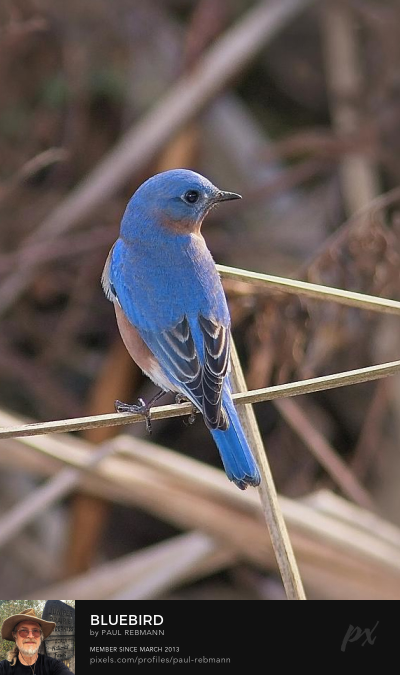 View online purchase options for Bluebird by Paul Rebmann
