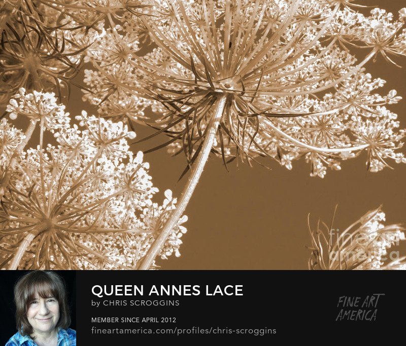 sepia tone queen annes lace flower photo by chris scroggins
