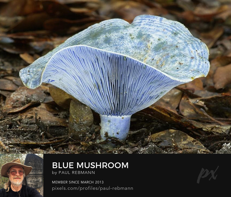 View online purchase options for Blue Mushroom by Paul Rebmann
