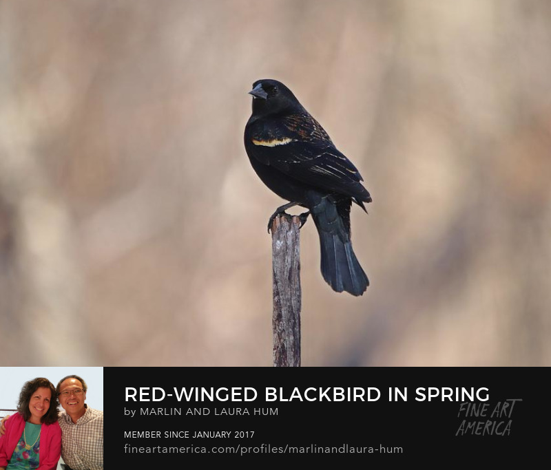 Red-winged Blackbird in Spring  by Marlin and Laura Hum