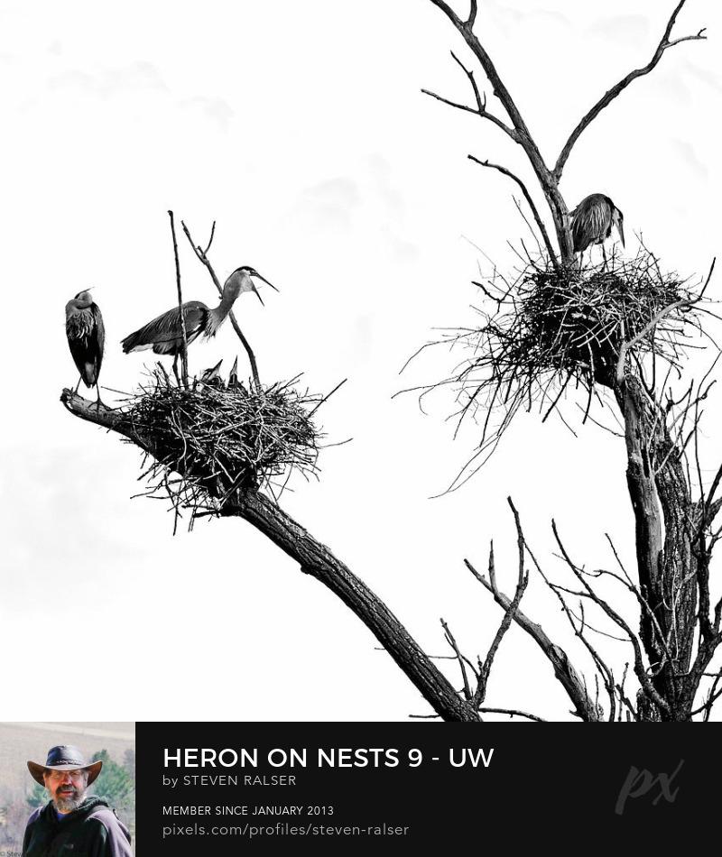 Heron with chicks, us arboretum, Madison, Wisconsin