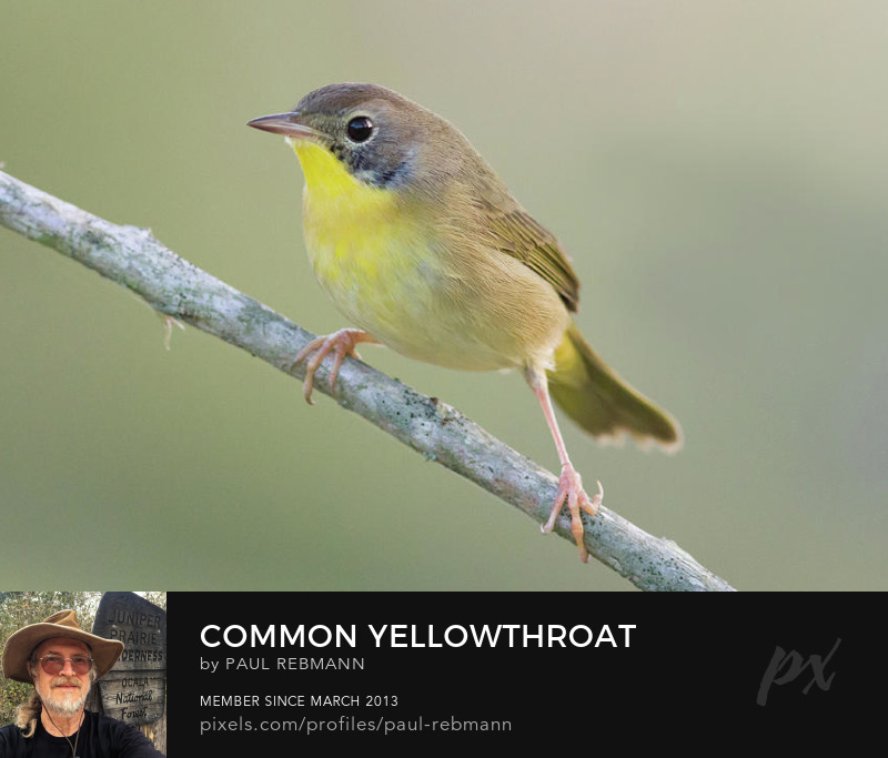 View online purchase options for Common Yellowthroat by Paul Rebmann