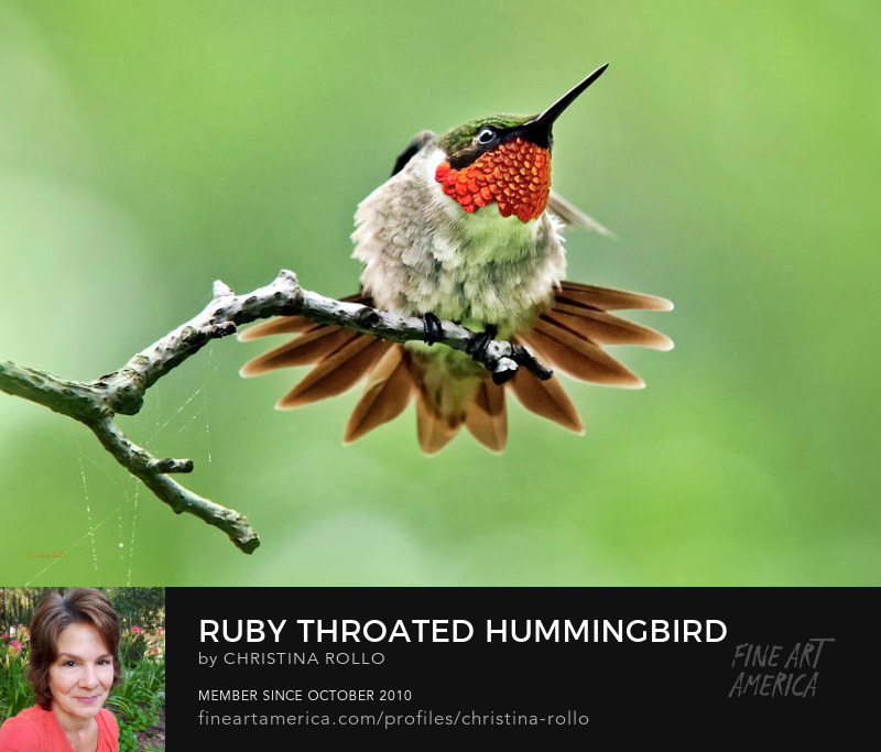 Ruby-Throated Velocity