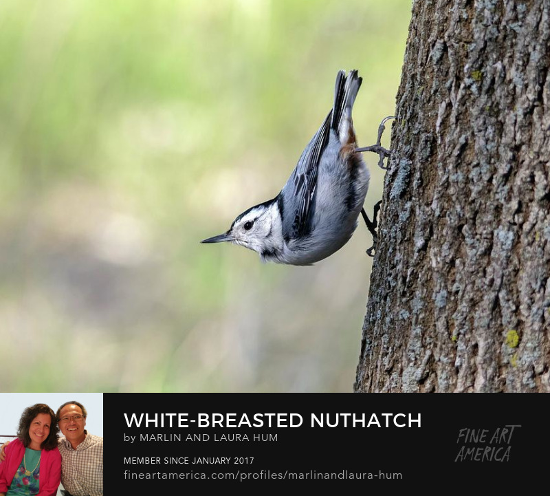 White-Breasted Nuthatch by Marlin and Laura Hum