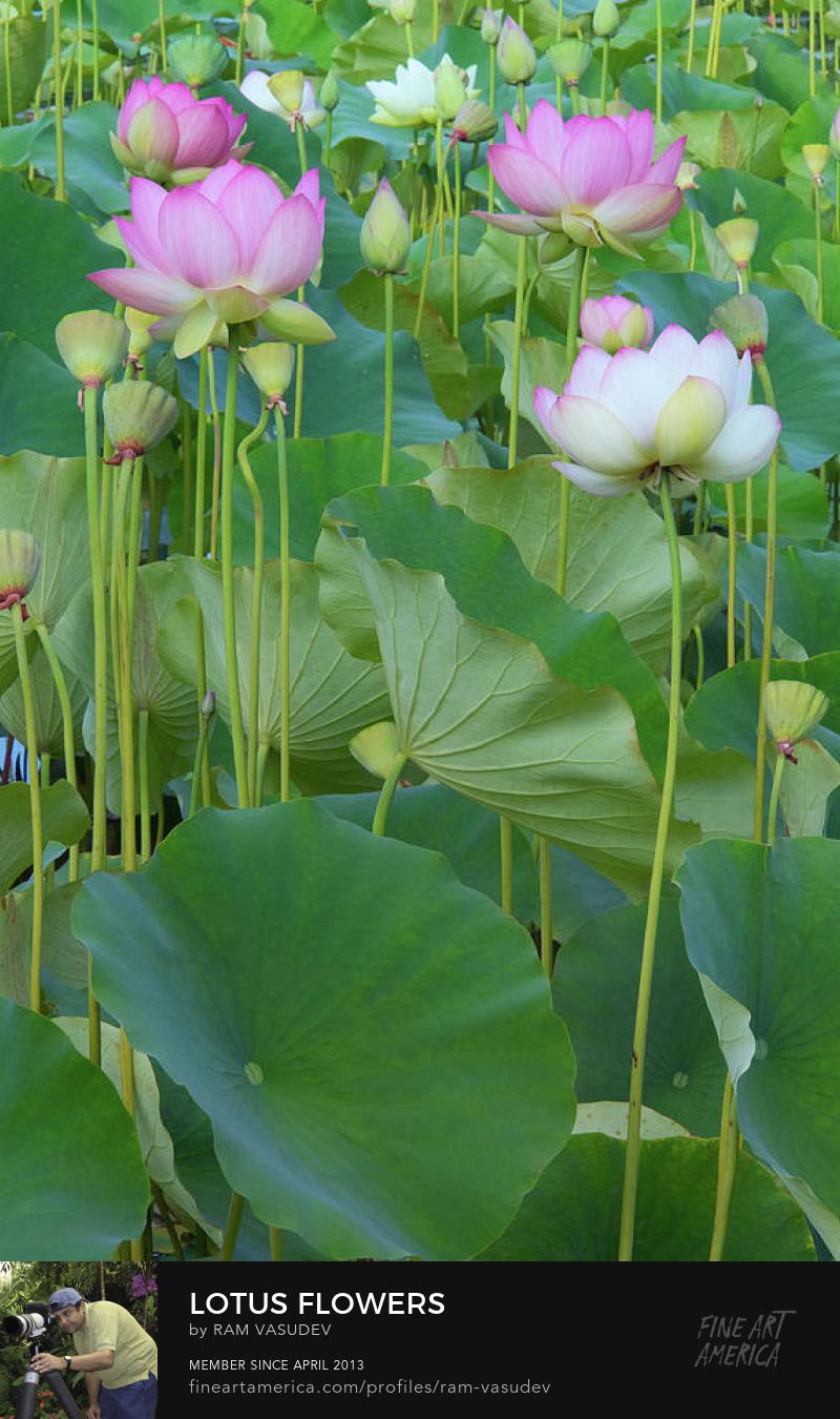 Lotus Blooms Fine Art by Ram Vasudev