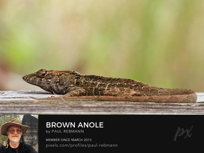 View online purchase options for Brown ANole by Paul Rebmann