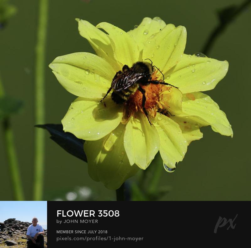 Dahlia with Bumble Bee (Bombus pensylvanicus) in Norman, Oklahoma, August 21, 2021