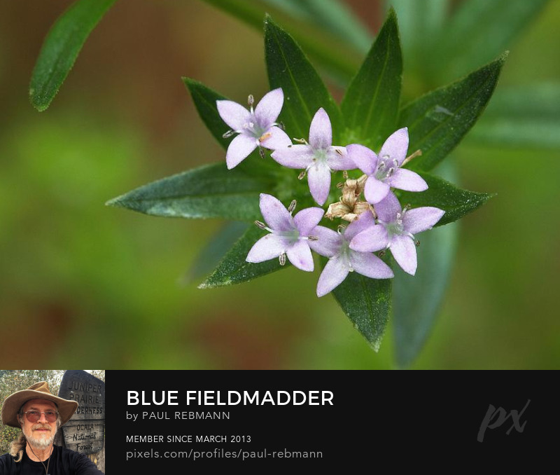 View online purchase options for Blue Fieldmadder by Paul Rebmann