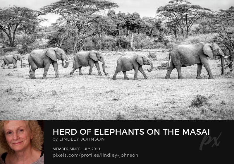 herd of elephants on the masai mara by lindley johnson