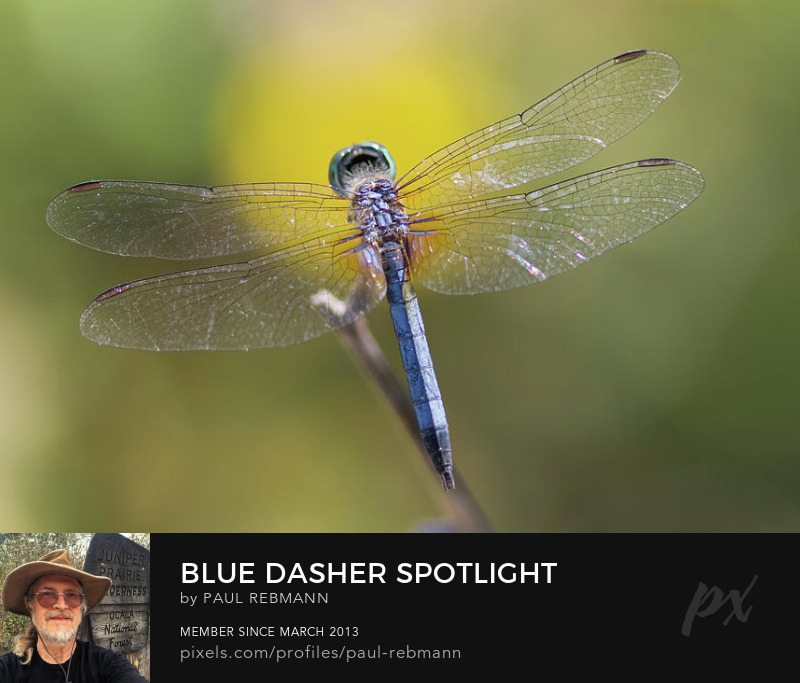 View online purchase options for Blue Dasher Spotlight by Paul Rebmann