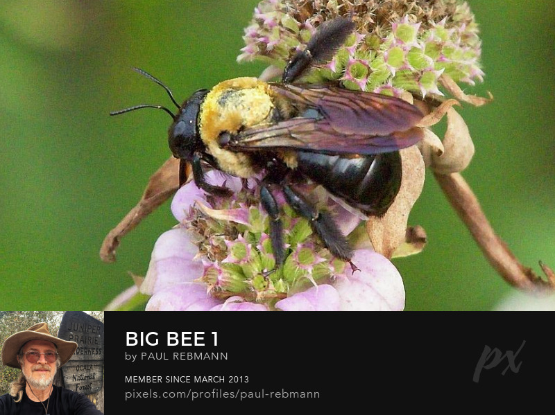 View online purchase options for Big Bee #1 by Paul Rebmann