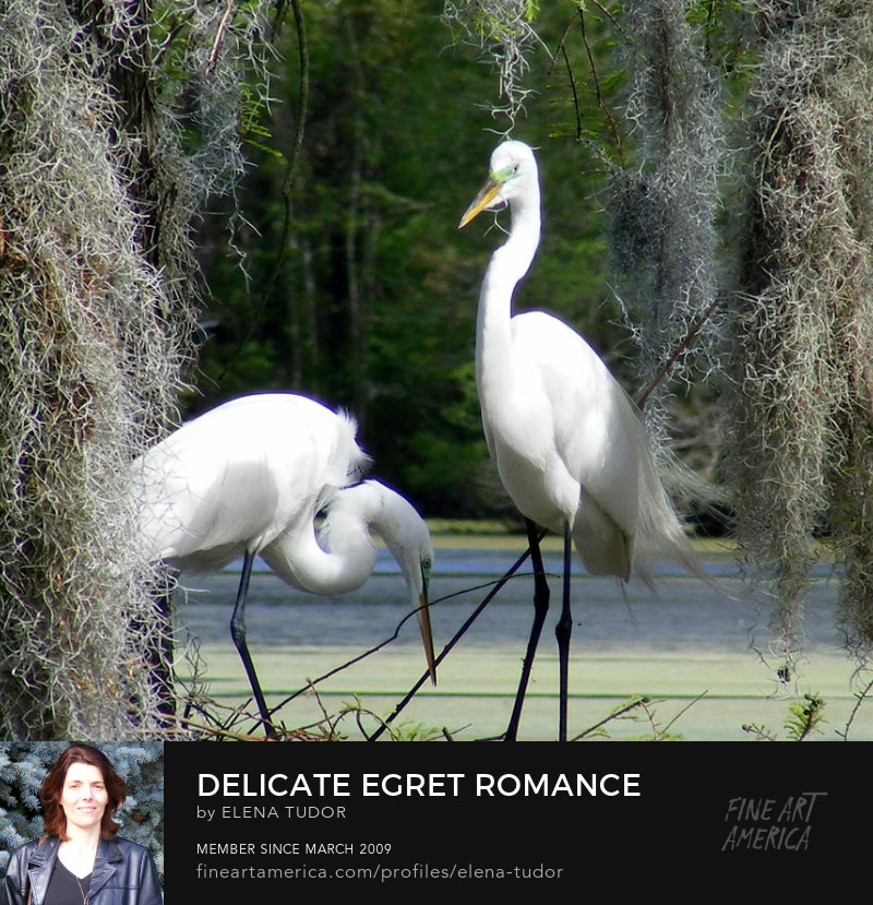 Great Egrets Couple