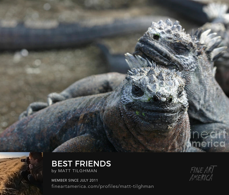 Marine Iguanas Art Prints