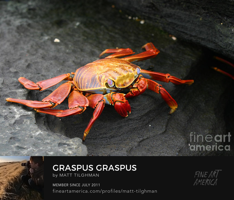 Graspus graspus sally lightfoot galapagos Prints