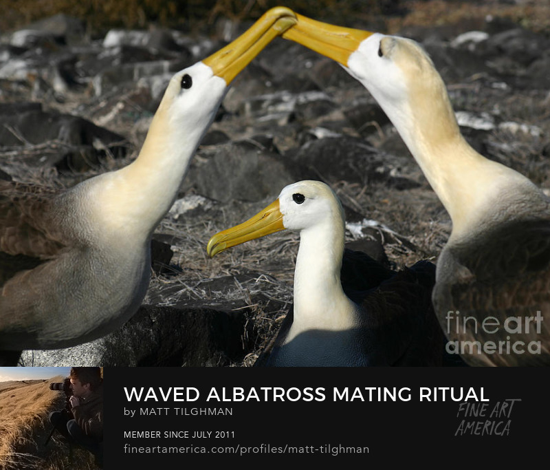 Galapagos Albatross Courtship Ritual Art Prints