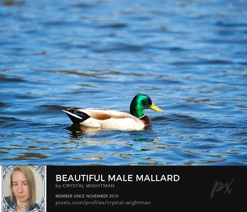 Duck photography - male mallard swimming.