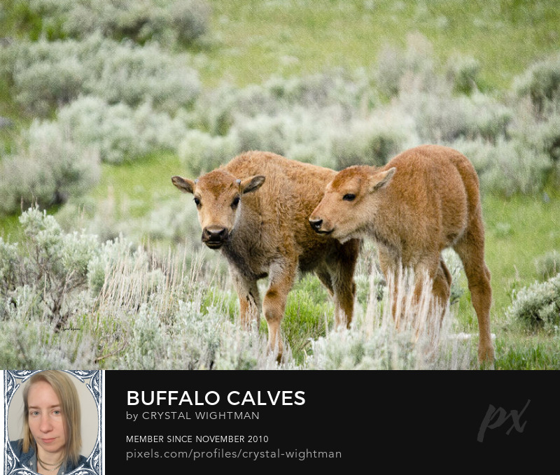 Wildlife photo of buffalo calves playing in an open field in Yellowstone National Park.
