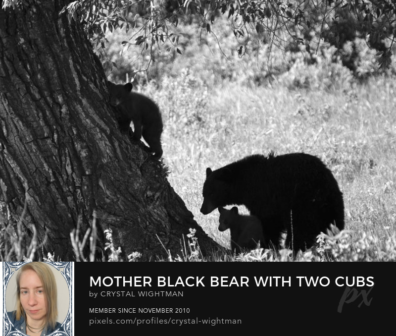 Gizzly mother bear and cubs in Yellowstone.