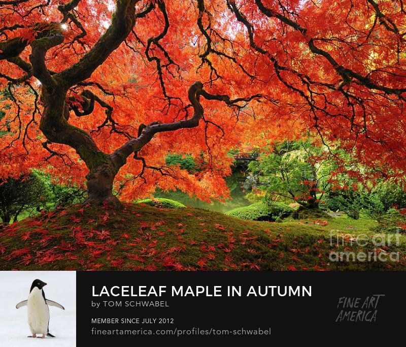 Laceleaf Maple in Autumn at Portland Japanese Garden