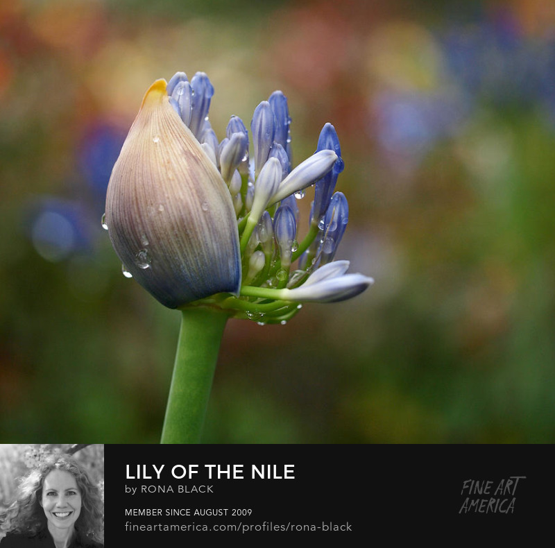Lily of the Nile photo art by Rona Black