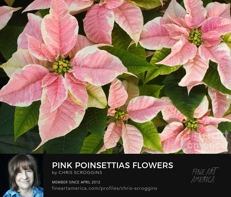 pink poinsettias frames print by chris scroggins