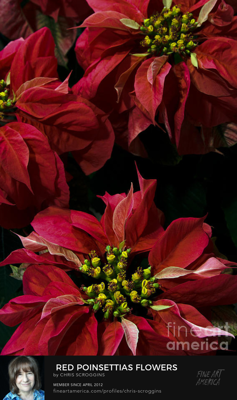 picture of dark red poinsettia flowers by chris scroggins