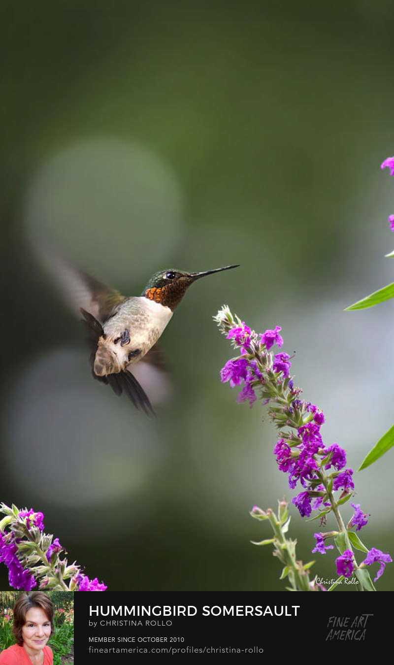 Hummingbird Somersault