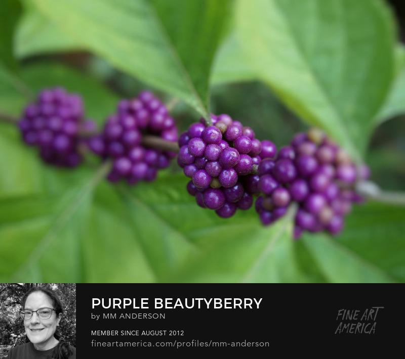 Purple Beautyberry photo for sale by MM Anderson