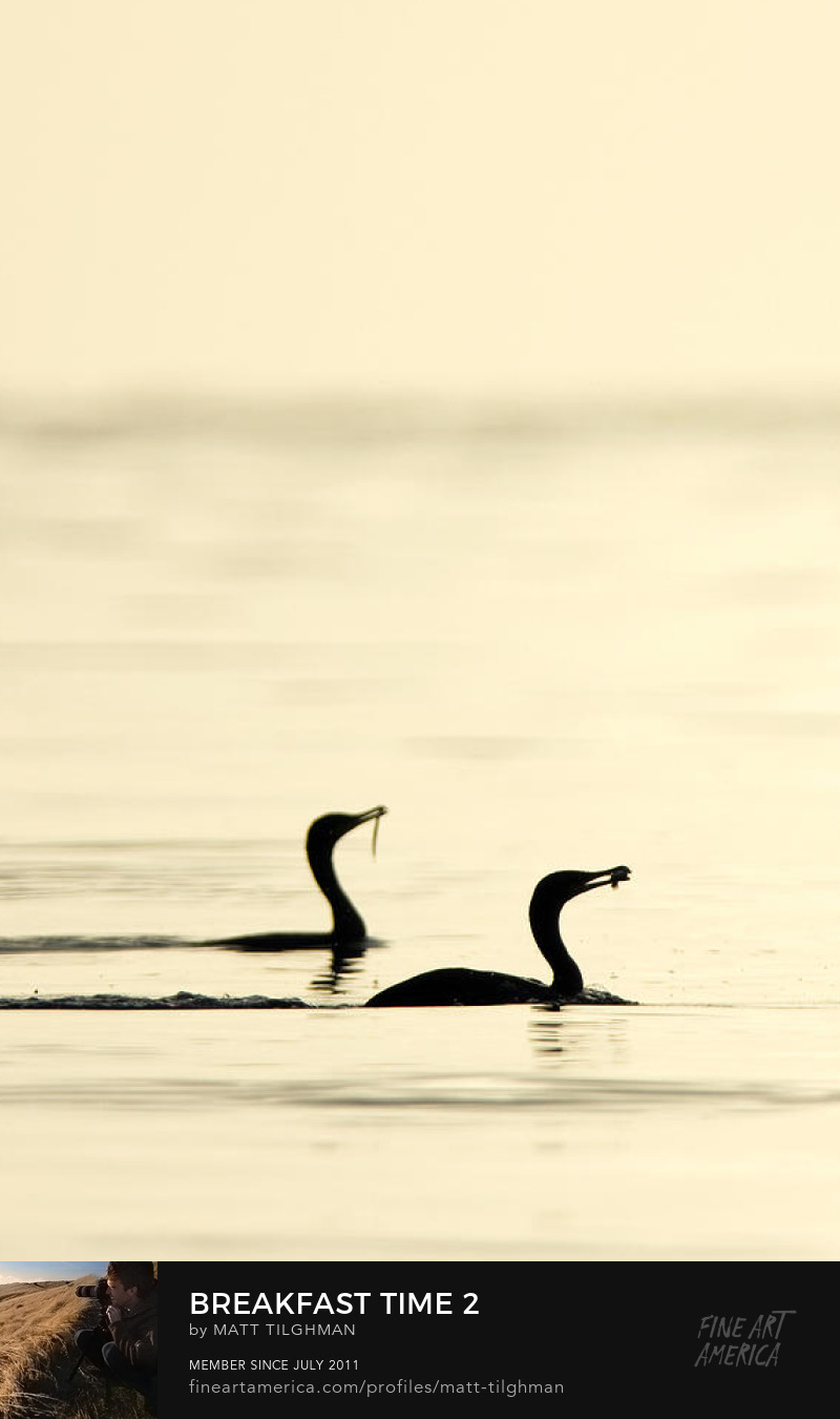Cormorant Photography Prints