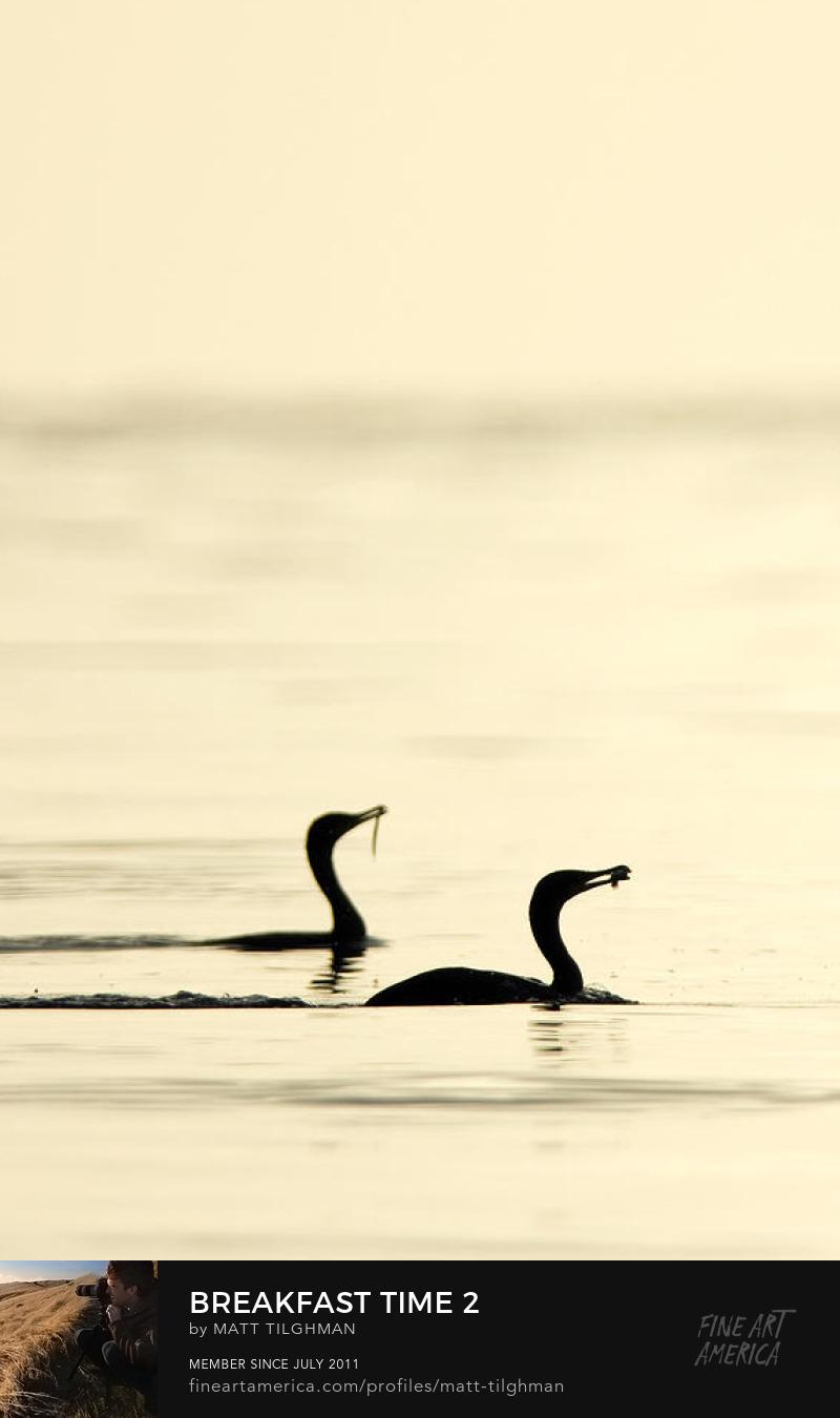 Cormorant Photography Prints