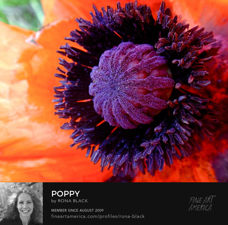 Poppy art print by Rona Black
