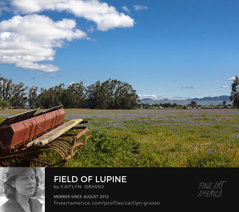 Field of Lupine by Caitlyn Grasso
