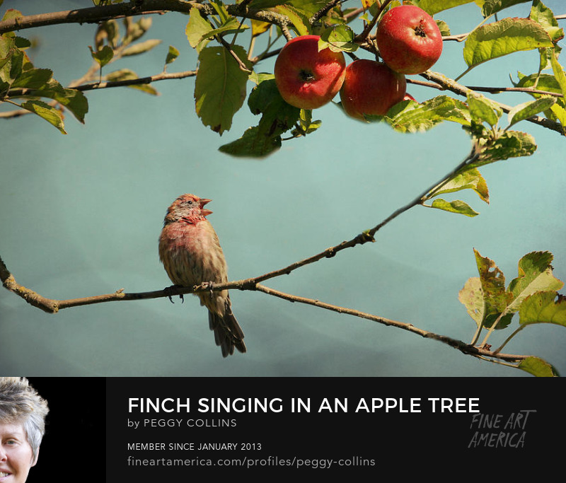 finch singing in apple tree photograph by peggy collins