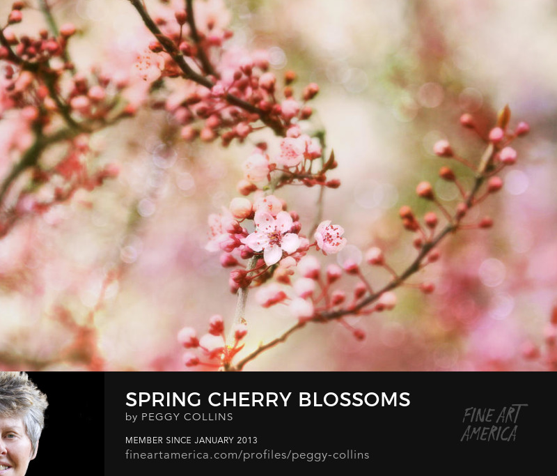 cherry blossoms by peggy collins