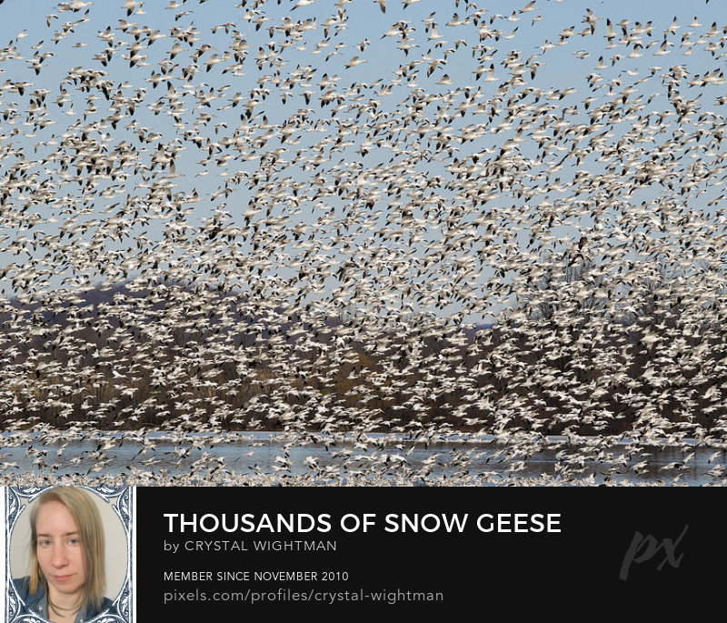 Snow geese migrating through Pennsylvania