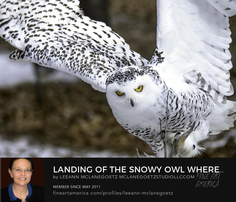 McLaneGoetzStudioLLC.com Landing of the Snowy Owl Michigan