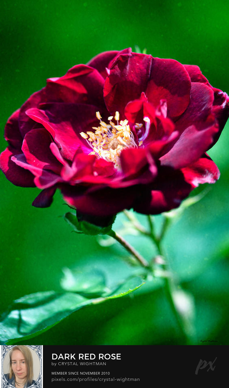 Dark red rose against a green background.
