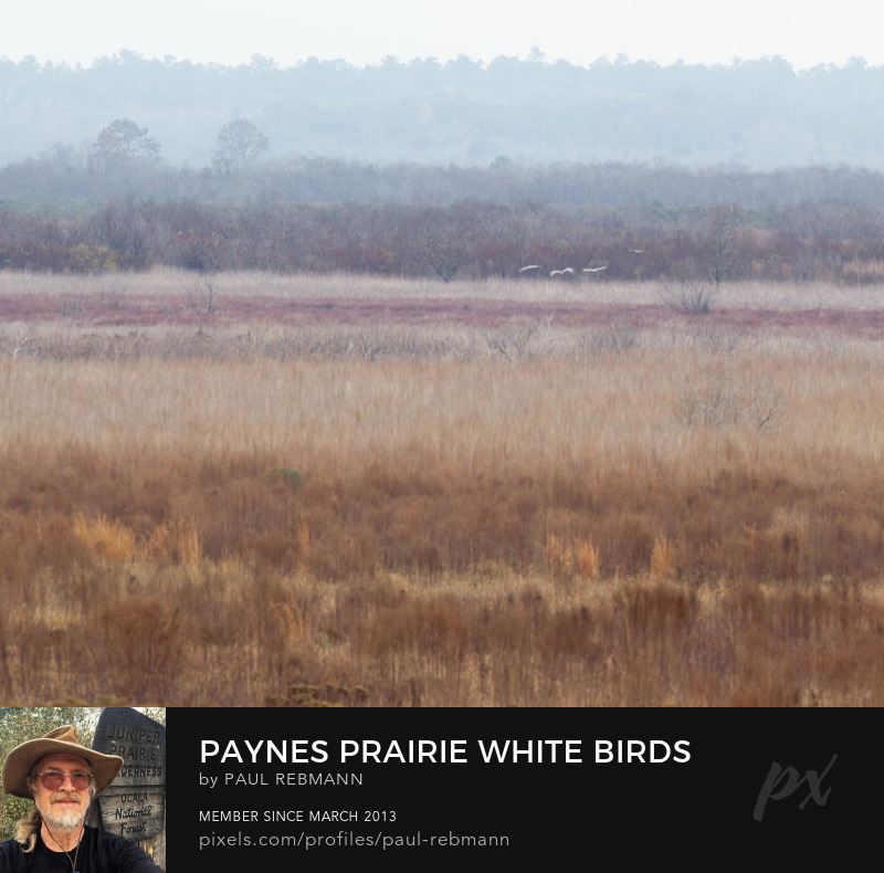 View online purchase options for Paynes Prairie White Birds by Paul Rebmann