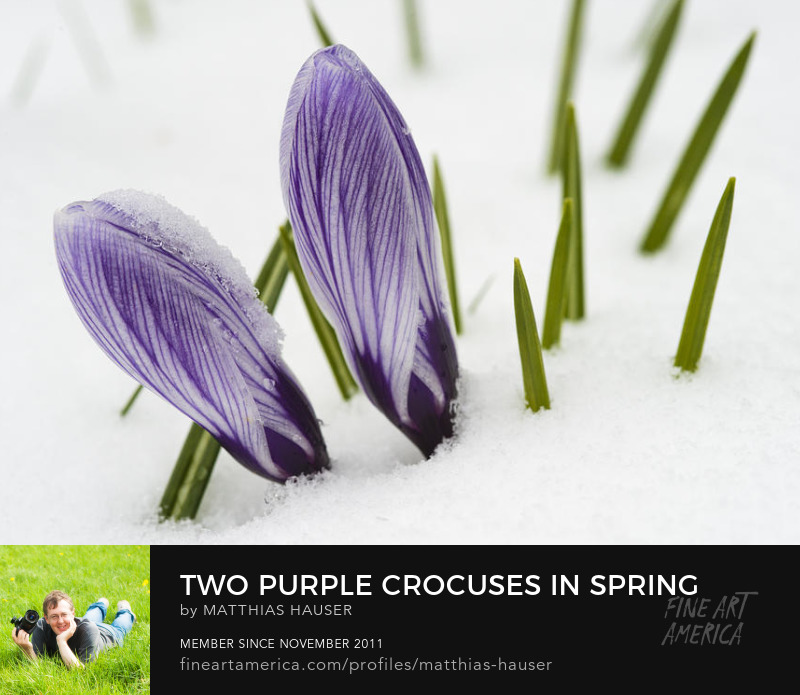 Crocus in spring with snow Art Prints by Matthias Hauser